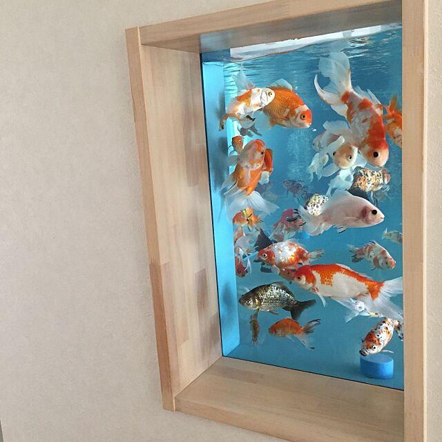 On Walls,水槽,金魚 chieの部屋