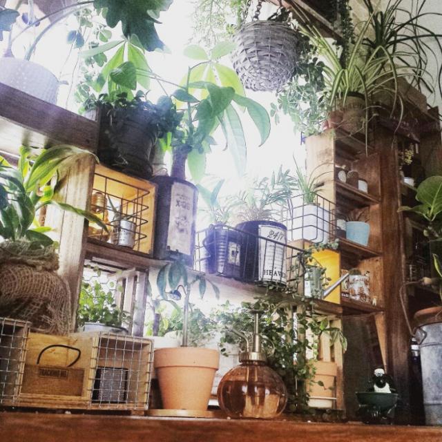 Overview,サボテン,シュガーバイン,クワズイモ,ワイヤープランツ,パキラ,テーブルヤシ,ゴムの木,NO GREEN NO LIFE,ノリナ,フィカスシャングリラ,ていうかパキラにまた新芽,そんな植物達に元気を分けてもらいます,チビパキラのインテリア実例 | RoomClip (ルームクリップ)