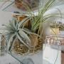 My Desk/いなざうるす屋さん/chloe/本物のキセログラフィカ/フェイクのティランジアに関連する部屋のインテリア実例