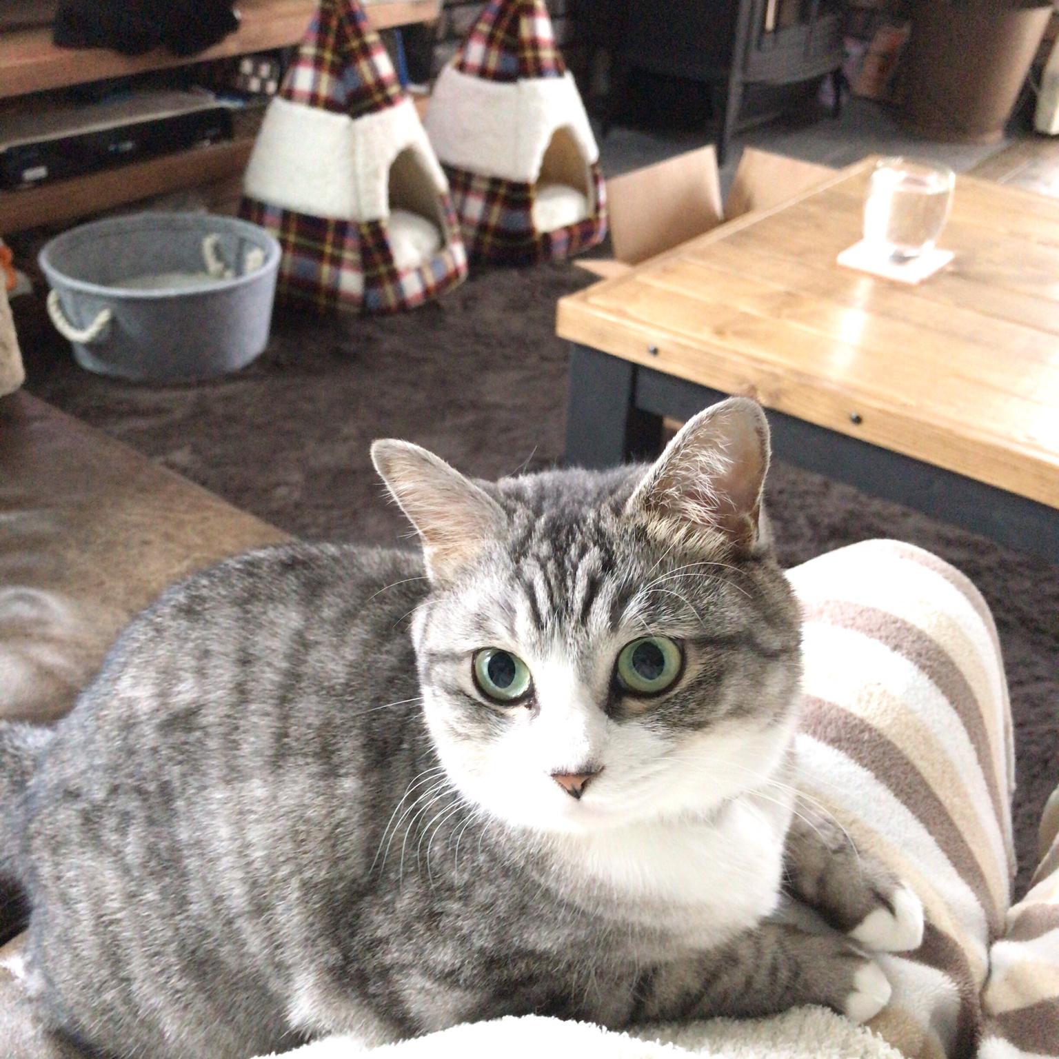 甘える猫/ニコ♀/カフェ風/いいね&フォローありがとうございます☆/猫と暮らす家...などのインテリア実例 - 2021-04-23 12:07:02