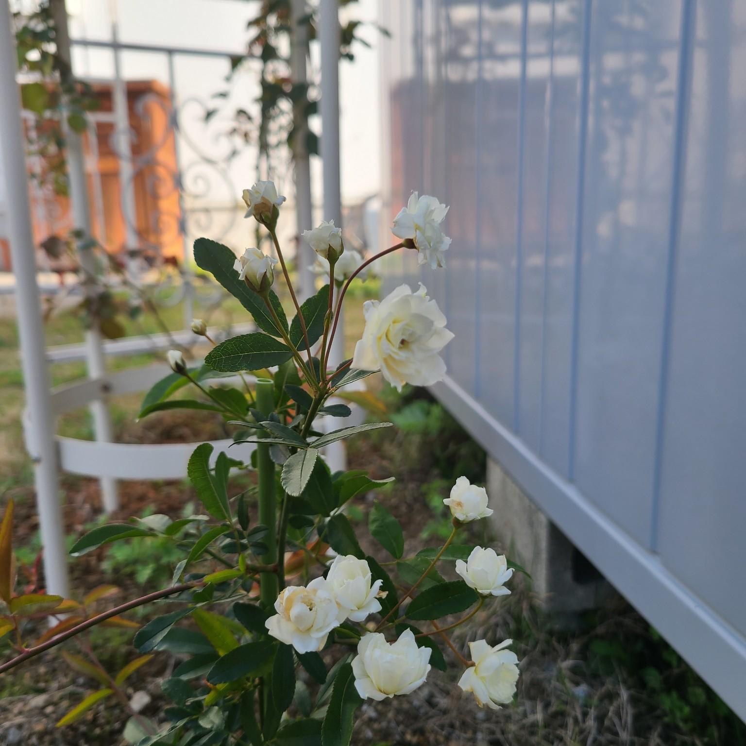 玄関/入り口/庭/植物のある暮らし/モッコウバラ/モッコウバラ白...などのインテリア実例 - 2021-04-22 08:02:43