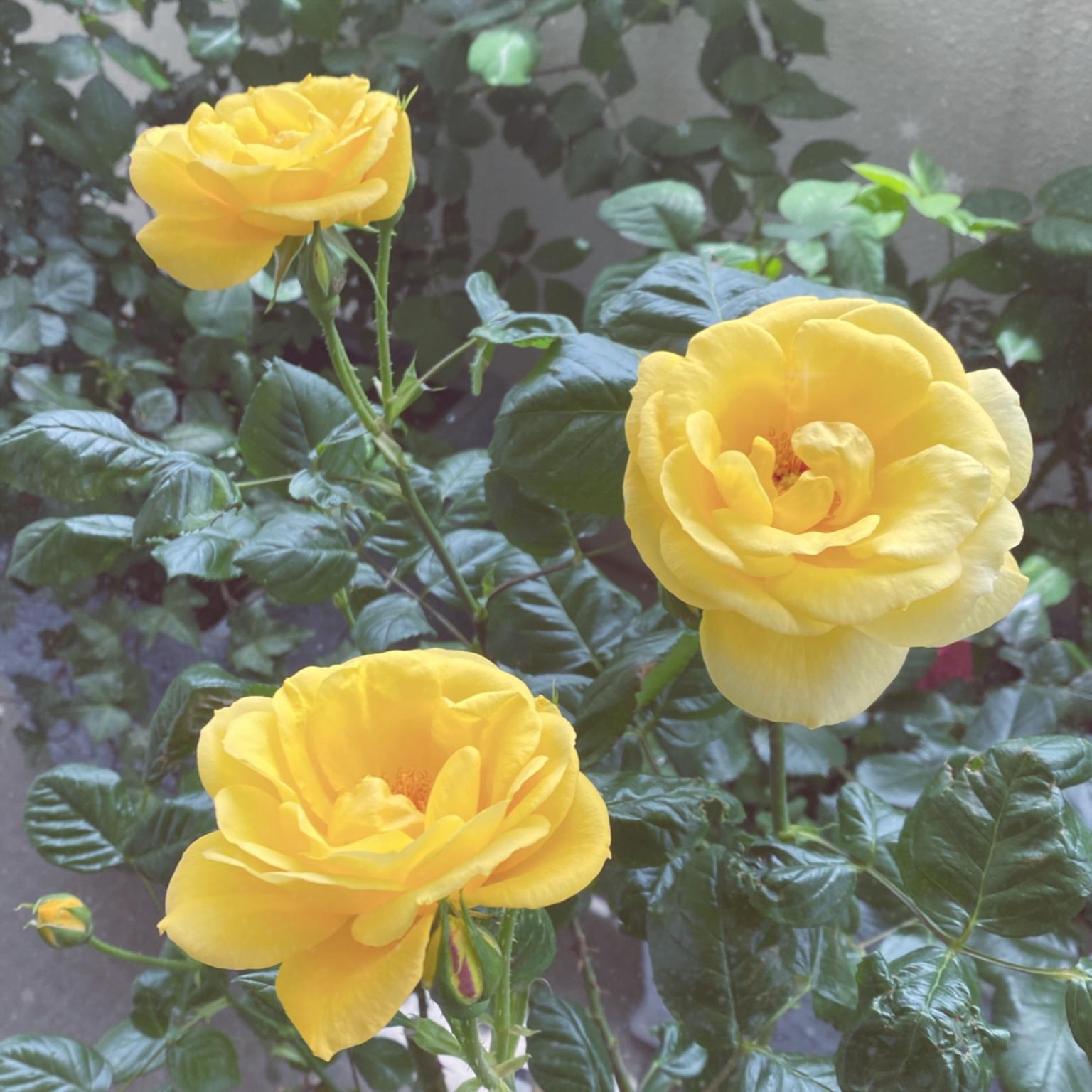 アーサーベル/薔薇/ベランダガーデン/ベランダ/ガーデニング...などのインテリア実例 - 2021-04-22 11:29:25