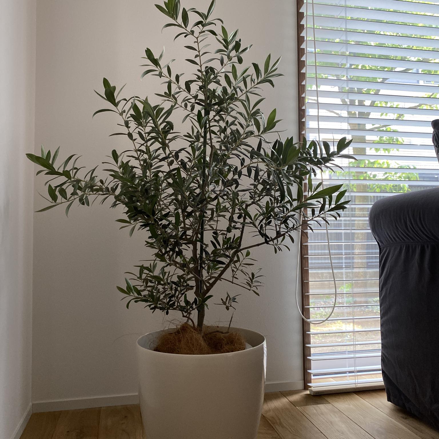 シンボルツリー/観葉植物/リビングのインテリア実例 - 2021-05-10 16:22:32