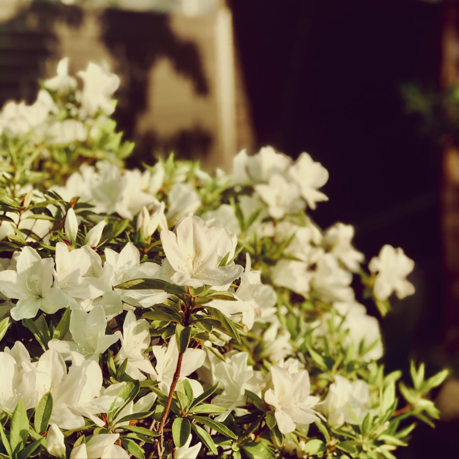庭の木/庭の花/ツツジ/白い花/ツツジも開花♡...などのインテリア実例 - 2021-04-22 21:35:54