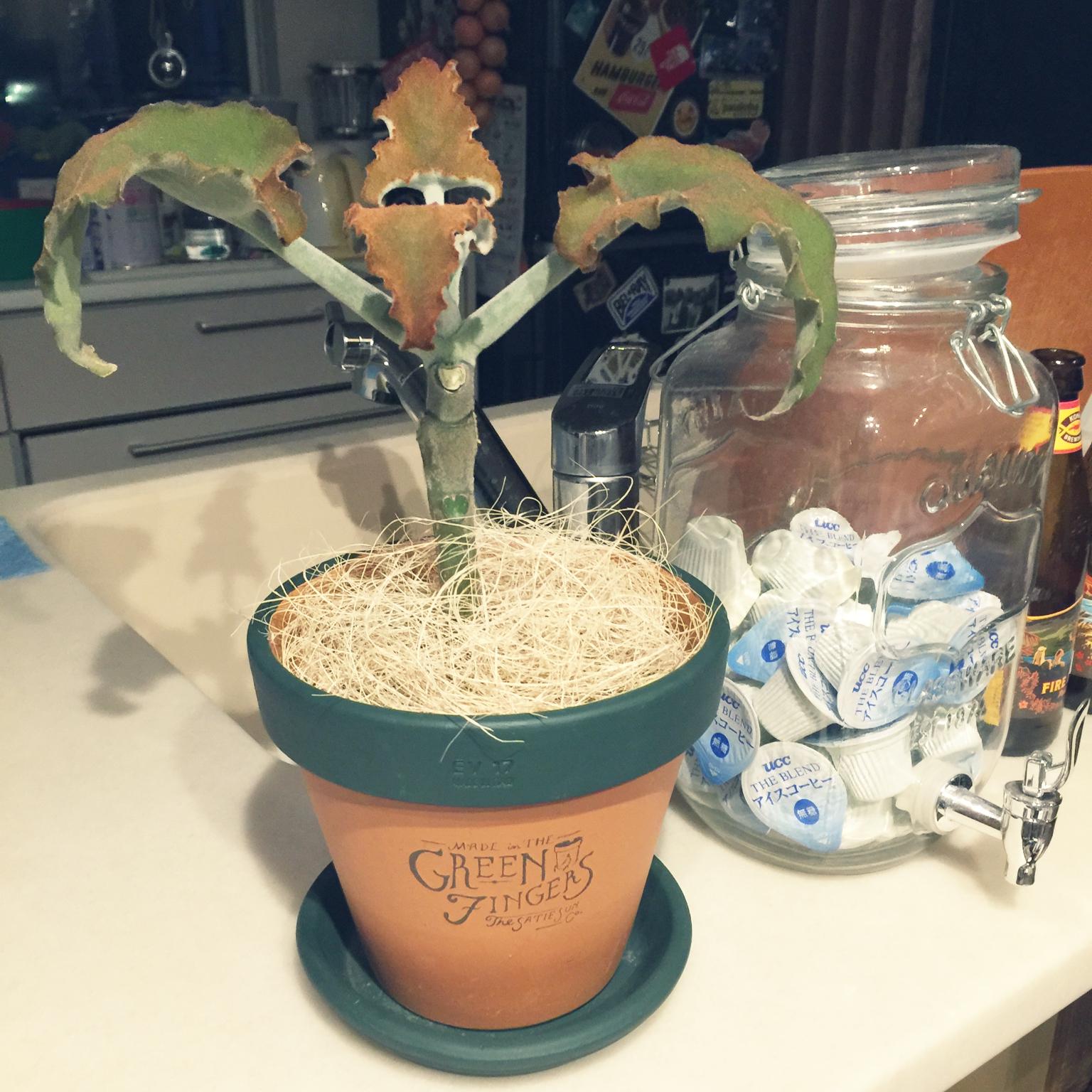 GREEN FINGERSのカランコエ ベハレンシス3,500円(GREEN FINGERSの鉢、ソーサーは別料金)