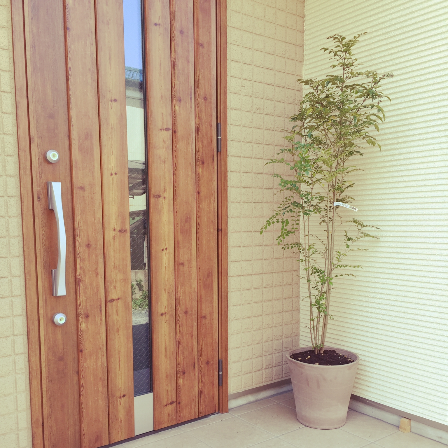シマチュウのシマトネリコの木2,280円