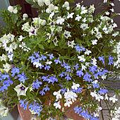 庭/寄せ植え/花のある暮らし/グリーン/ブルー...などのインテリア実例 - 2021-06-22 07:42:37