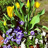 花のある暮らし/三年目/庭のある暮らし/花から元気もらう/癒し...などのインテリア実例 - 2020-04-07 15:27:10