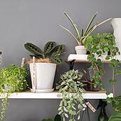 棚/マランタ/エリトロネウラ/観葉植物/DIY...などのインテリア実例 - 2020-04-03 10:07:55