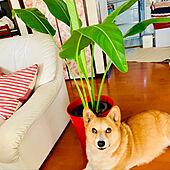 IKEAバケツ/コーギーのいる暮らし/観葉植物/観葉植物のある暮らし/リビングのインテリア実例 - 2019-09-10 07:54:55