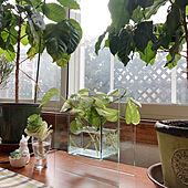 葉牡丹/水耕栽培/ポトス/コーヒーの木/観葉植物...などのインテリア実例 - 2021-02-28 09:25:20