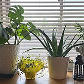 出窓ディスプレイ/アンティーク/花瓶/ミックスインテリア/フラワーべース...などのインテリア実例 - 2021-05-12 05:16:52