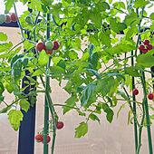 家庭菜園/プランター/ミニトマト/プランター菜園/いつもいいねやコメありがとうございます♡...などのインテリア実例 - 2021-09-19 22:47:57