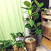 フィカスアルテシマ/シンボルツリー/1K/植物のある暮らし/一人暮らし...などのインテリア実例 - 2021-05-08 19:24:26
