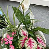 花のある暮らし/ガーデニング/夏の寄せ植え/植物のある暮らし/お花に癒されます♡...などのインテリア実例 - 2021-06-11 19:29:01