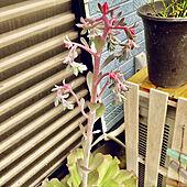 RCの出会いに感謝♡/見てくださってありがとう❁︎/植物のある暮らし/もう少し伸びる予定/只今の花芽が花らしくなりました♪...などのインテリア実例 - 2021-09-18 11:31:07