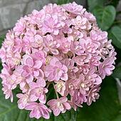 紫陽花/花のある暮らし/花のある生活/玄関/入り口のインテリア実例 - 2021-06-13 11:42:39