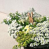 玄関/入り口/花のある暮らし/こどもと暮らす/こどものいる暮らし/セリア...などのインテリア実例 - 2020-04-02 13:06:43