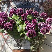 見てくれてありがとうございます♡/いいね♡感謝です♡/庭/ガーデニング/庭の花...などのインテリア実例 - 2021-03-03 18:38:34