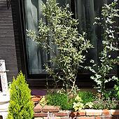 玄関/入り口/シンボルツリー/花のある暮らし/オリーブの木/オリーブプランツのインテリア実例 - 2021-05-10 00:37:23