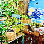 緑化/コーナーディスプレイ/グリーンカーテン/陶器の鉢再利用/プラスチックゴミリメイク...などのインテリア実例 - 2021-06-04 07:01:10