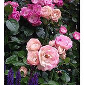 玄関/入り口/庭/宿根草/バラのある暮らし/バラ大好き♡...などのインテリア実例 - 2021-05-13 03:16:10