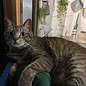 ねこのいる風景/ねこと暮らす/猫の名前はギン/ミニ枕/棚のインテリア実例 - 2020-08-04 20:52:41