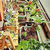 花のある暮らし/観葉植物/多肉植物/ガーデニングのインテリア実例 - 2020-04-07 11:28:52