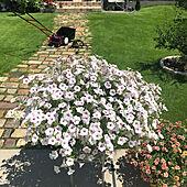 芝生のある庭/ペチュニア/PW/ビスタ/芝刈り...などのインテリア実例 - 2021-08-01 06:48:19