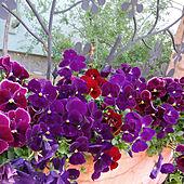 玄関/入り口/ナチュラル/グリーン/ガーデニング/紫...などのインテリア実例 - 2020-04-06 13:38:46