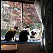 リビング/植物/窓/猫/ひなたぼっこ...などのインテリア実例 - 2018-12-21 12:03:50