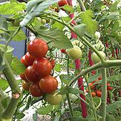 ミニトマト栽培/部屋全体のインテリア実例 - 2021-07-28 06:36:29