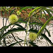 シンボルツリー/植物のある暮らし/間接照明✨/造作テレビボード/エバーフレッシュ...などのインテリア実例 - 2021-05-14 06:23:29