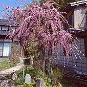 玄関/入り口/田舎暮らし/日本家屋/ジャンクな庭/垂れ梅...などのインテリア実例 - 2021-02-23 11:20:28