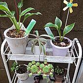 棚/楽しい時間/植物/植物のある暮らし/植物大好き...などのインテリア実例 - 2020-09-25 18:13:40