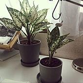 植え替え/インドアグリーン/観葉植物のある暮らし/アグラオネマ/一人暮らし...などのインテリア実例 - 2021-05-18 20:03:22