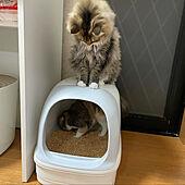 猫トイレ/ねこのいる日常/いつもいいねやコメありがとうございます♡/ねこと暮らす。/にゃんこと一緒...などのインテリア実例 - 2021-06-12 22:19:03