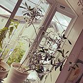 ナチュラル/観葉植物/リビングのインテリア実例 - 2021-06-23 12:13:28
