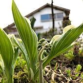 山菜/一人暮らし/緑のある暮らし/お庭のある暮らし/植物が好き...などのインテリア実例 - 2021-04-15 20:46:25