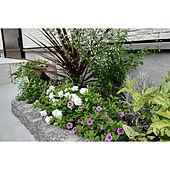 玄関/入り口/カリブラコア八重咲き/サフィニア/植栽初心者/植物のある生活...などのインテリア実例 - 2020-07-15 09:02:54