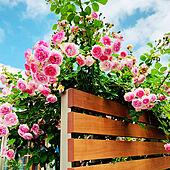玄関/入り口/薔薇/庭のある暮らし/狭小住宅/こどものいる暮らし...などのインテリア実例 - 2021-06-29 08:01:25