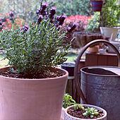 多肉植物/じょうろ/ラベンダー/花のある暮らし/春...などのインテリア実例 - 2020-04-02 20:17:05