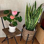 観葉植物/リビングのインテリア実例 - 2021-07-24 11:14:12