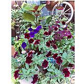 お花色々♡/夏の記録/植物が好き/お花大好き♡/いいね!ありがとうございます(*^^*)...などのインテリア実例 - 2021-07-30 07:01:01