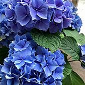アジサイ/花のある暮らし/家の中でできる事/ダイソー/ベランダガーデン...などのインテリア実例 - 2020-05-30 09:26:50