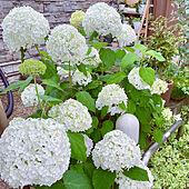 お花に癒される/お花のある暮らし/挿木で増えた(^^)/玄関スペース/3年目のアナベル...などのインテリア実例 - 2021-06-18 14:29:42