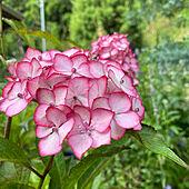 紫陽花/花のある暮らし/花が好き/庭のある暮らし/庭...などのインテリア実例 - 2021-06-19 17:51:24