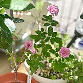 IKEAで買ったミニ薔薇/暑さに負けず元気に咲いてます/ミニ薔薇/夏の記録/コメントお気遣いなく(⁎ᴗ͈ˬᴗ͈⁎)...などのインテリア実例 - 2021-07-30 09:46:31