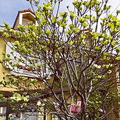 玄関/入り口/ハナミズキが満開/お庭での楽しみ方/お花に癒されるᙏ̤̫͚ᙏ̤̫͚のインテリア実例 - 2021-04-07 09:45:51