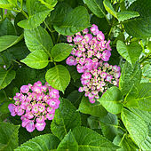 赤紫色/紫陽花咲きました/陽射しがギラギラ/快晴27℃/蒸し暑い...などのインテリア実例 - 2021-06-18 19:26:15